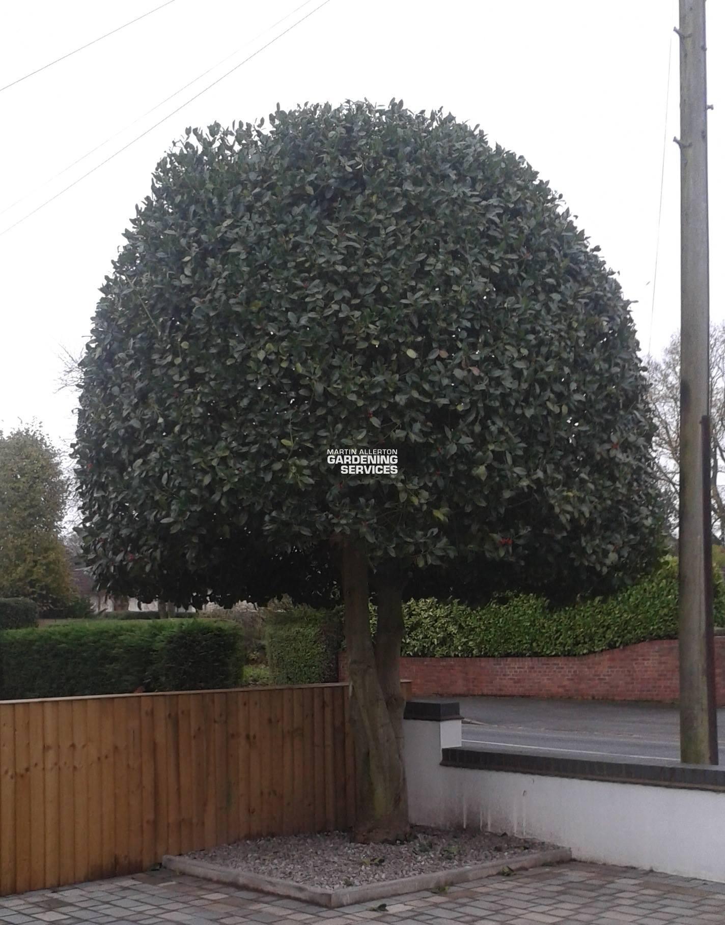 Barlaston tree shaping - after