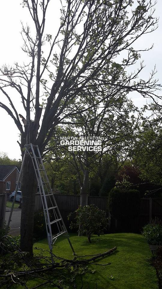 Walton rowan tree removal - before