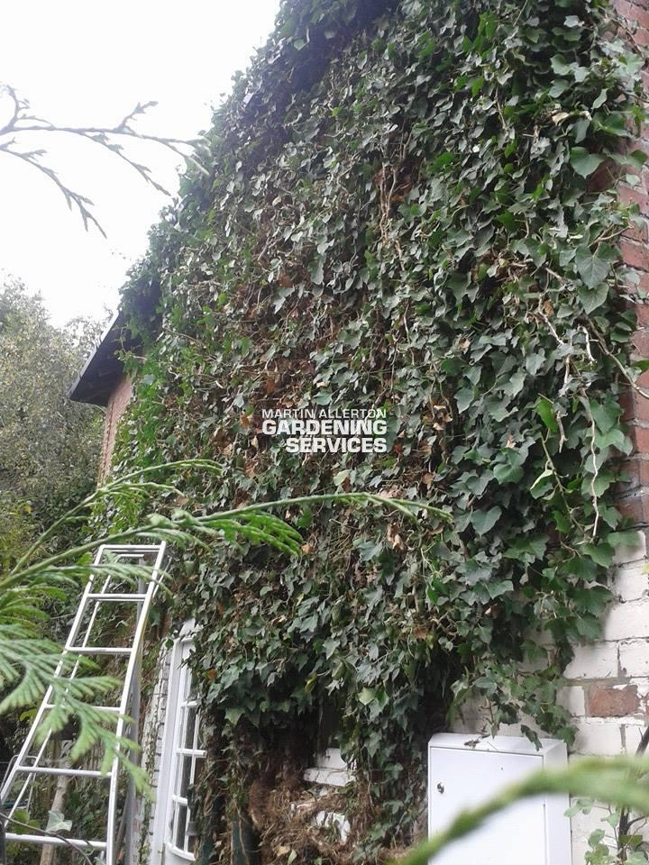 Oulton ivy removal - before