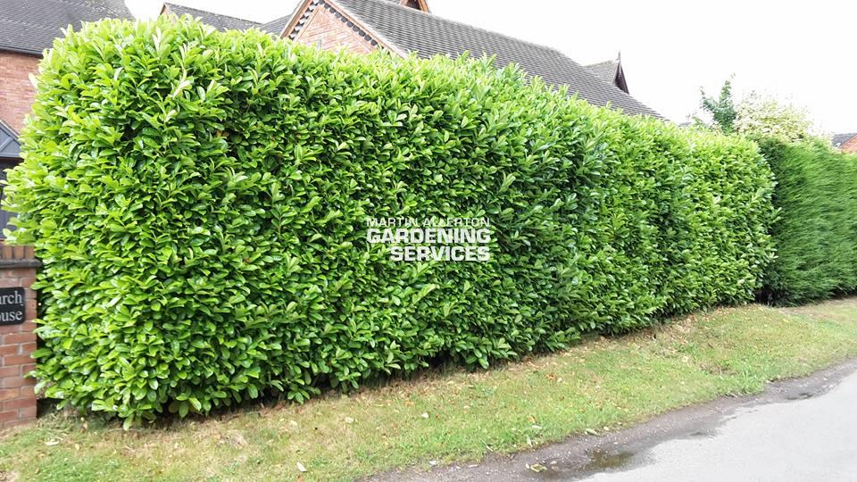 Aston laurel hedge trimming - before